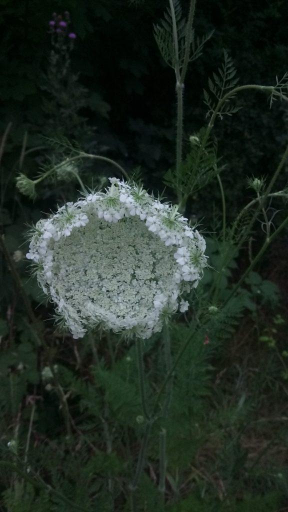 Bild einer weißen Blume vor dunklem Grün. Im Hintergrund im Dickicht blüht auch noch eine lila Distel.